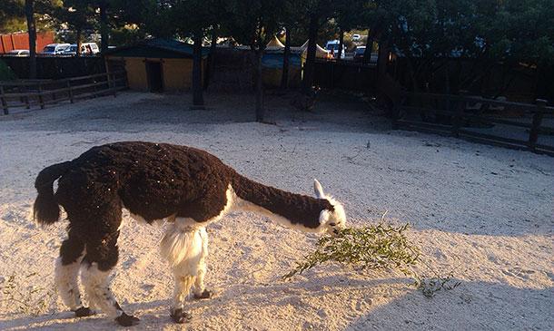 лама в сафари парке геленджика