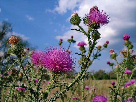 Цветки татарника