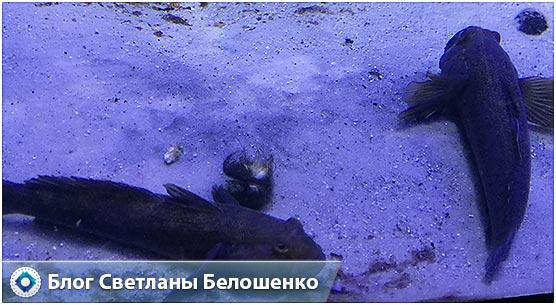 бычки рыбы